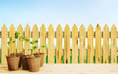 Young seedlings in pots near wooden fence against blue cloudless — Stock Photo