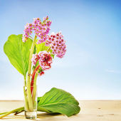 Small bouquet of Bergenia flowers in a glass against blue — Stockfoto