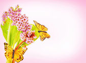 Blossoming Bergenia flowers with butterflies against pink gradie — Stock Photo