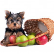 Yorkshire terrier puppy on white background — Стоковое фото #9290483