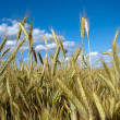Foto Stock: Fully grown grain
