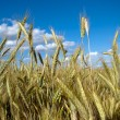 Stockfoto: Fully grown grain