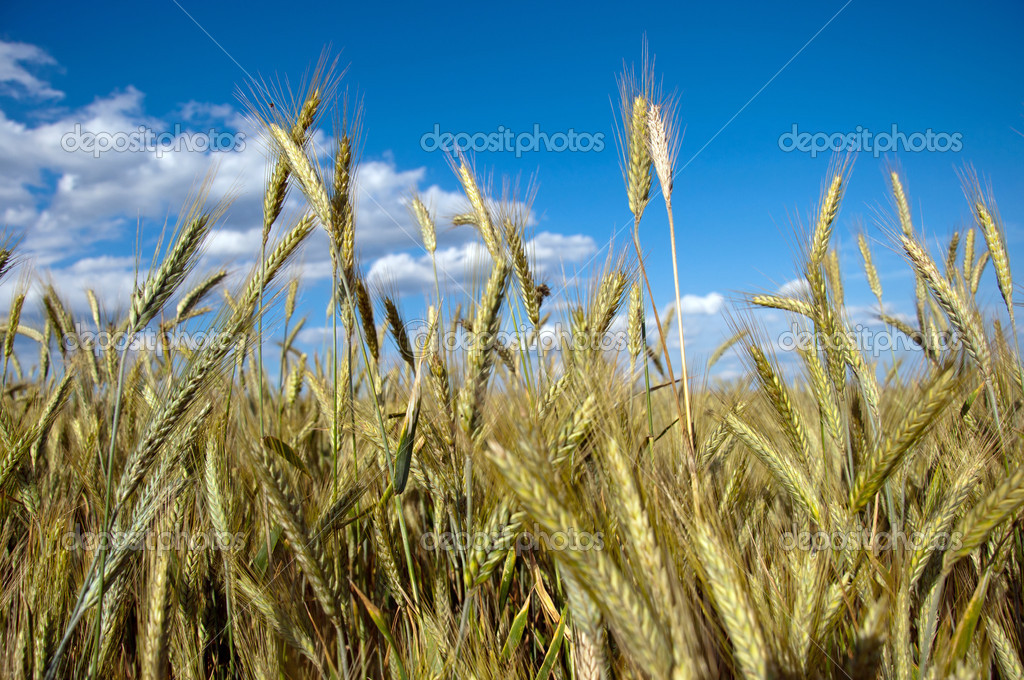 Photo of fully grown grain — Stock Photo #13633201