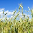 Fully grown grain — Stock Photo