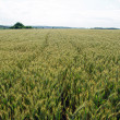Stock Photo: Fully grown grain