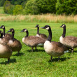 Group of Canada Geese — Stock Photo