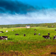 Cows on green meadow in Belarus — Stock Photo