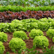 Rows of lettuce on a field - Stock Photo