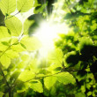 Foliage framing the sun — Stock Photo