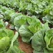 Rows of cabbage on a field — Stock Photo