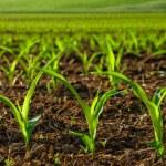 Sunlit young corn plants — Stock Photo #20087015