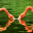 Stock Photo: Flamingos symmetrically reflected on water