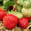 Strawberries growing - Stock Photo