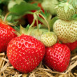 Strawberries growing - Photo