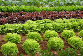 Rows of lettuce on a field — Foto Stock