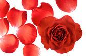 Celé růžové a samostatných lístků — Stock fotografie