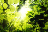 Foliage framing the sun — Foto de Stock
