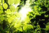 Follaje enmarcando el sol — Foto de Stock
