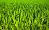 Lush grass closeup — Stock Photo