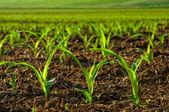 Rostliny zalité sluncem mladá kukuřice — Stock fotografie