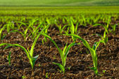 Sunlit young corn plants — Stockfoto