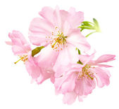 Cherry blossoms isolated on white — Stock Photo