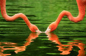 Flamingos symmetrically reflected on water — 图库照片