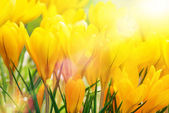 Yellow crocuses in beautiful sunlight — Stock Photo