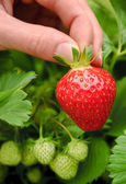 Perfect ripe strawberry being plucked — Stock Photo