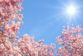 Blossoming cherry trees and the sun — Stock Photo