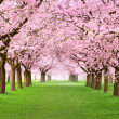 gourgeous cherry trees in full blossom — Stock Photo