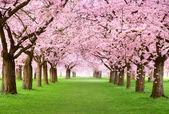 Gourgeous třešňové stromy v plné květy — Stock fotografie