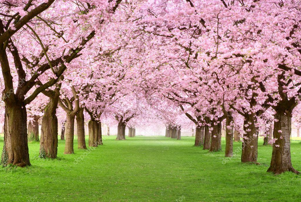 Фотообои Великолепные вишневые деревья в полном цвету