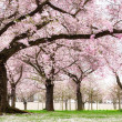 Stock fotografie: Blossoming cherry trees with dreamy feel