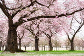 Blossoming cherry trees with dreamy feel — Stock Photo