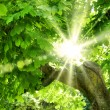 Sun shining through vivid green foliage — Stock Photo