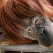 Beautiful orangutan looking into the camera — Stock Photo