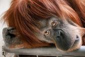 Mooie orang-oetan op zoek naar de camera — Stok fotoğraf