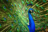 Fascinating peacock — Stock Photo