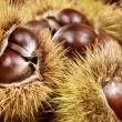Fresh shiny chestnuts in husks — Stock Photo