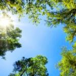Treetops framing the sunny blue sky — Stock Photo #41382917