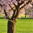 Blossoming cherry tree on a lawn — Stock Photo