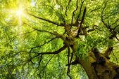 Słońce świeci przez stare drzewo bukowe — Zdjęcie stockowe