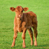 Happy calf on a meadow — 图库照片