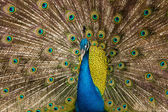 Peacock showing its beautiful feathers — Stock Photo