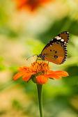 Kelebek besleme — Stok fotoğraf
