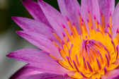 Close up on pink water lily — Stock Photo