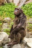 Closeup su scimpanzé — Foto Stock