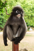 Dusky leaf monkey — Foto Stock