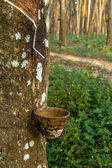 Tracks tapping rubber trees — Stock Photo